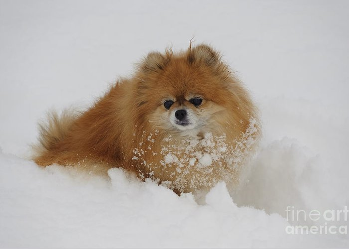 Pomeranian Greeting Card featuring the photograph Pomeranian In Snow by John Shaw