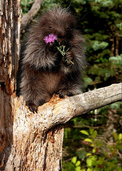 Animal Greeting Card featuring the photograph Porcupine  Hystrix Cristata by Carol Gregory