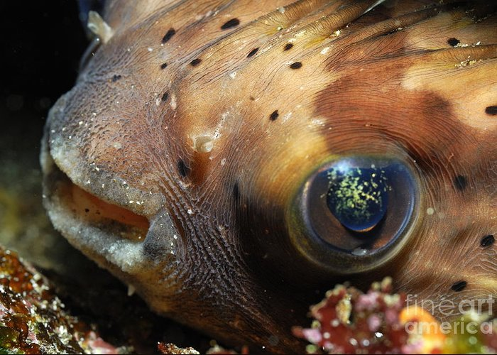 Beauty In Nature Greeting Card featuring the photograph Porcupine Fish by Sami Sarkis