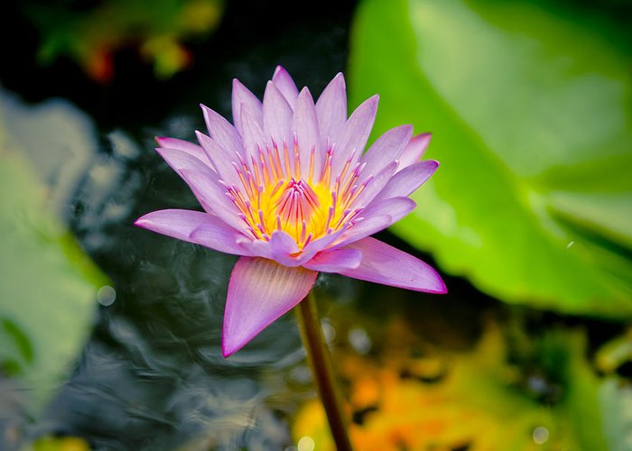 Backgrounds Greeting Card featuring the photograph Purple Lotus by Raimond Klavins