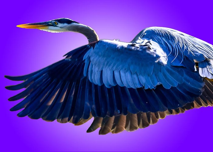Ardea Herodias Greeting Card featuring the photograph Purple Reign by Brian Stevens