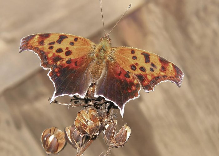 Brown Greeting Card featuring the photograph Question Mark Butterfly by David and Carol Kelly
