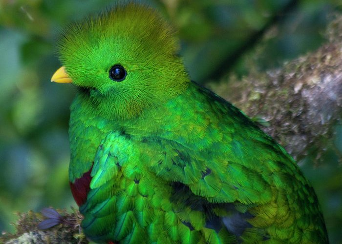 Bird Greeting Card featuring the photograph Quetzal by Heiko Koehrer-Wagner