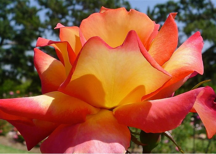 Rose Greeting Card featuring the photograph Rainbow Sorbet Rose Close Up by Denise Mazzocco