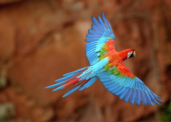 Red And Green Macaw Flying Greeting Card For Sale By Pete Oxford