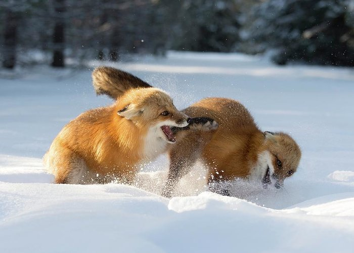 Vulpes Vulpes Greeting Card featuring the photograph Red Foxes Interacting In Snow by Dr P. Marazzi/science Photo Library
