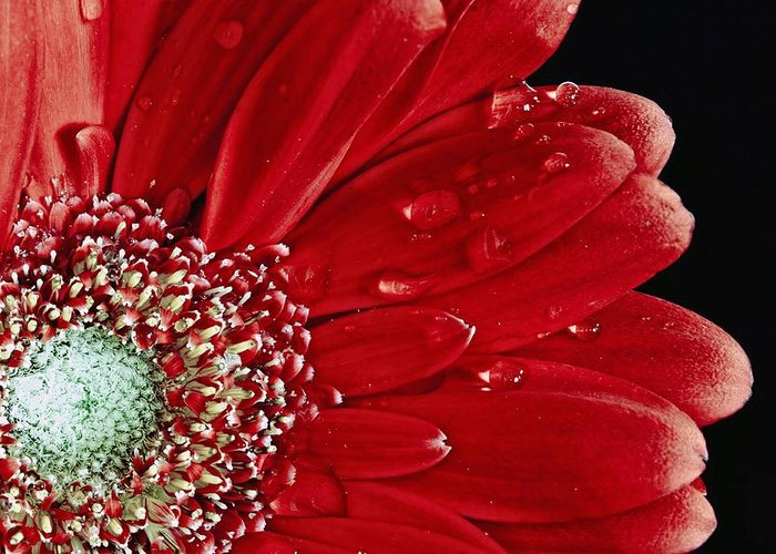 Red Greeting Card featuring the photograph Red Gerbera by Nancie Rowan