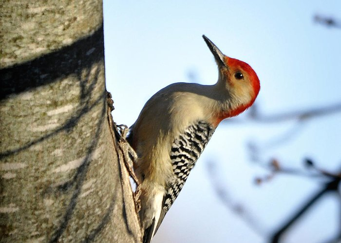 Nava Thompson Greeting Card featuring the photograph Redbelly Woodpecker by Nava Thompson