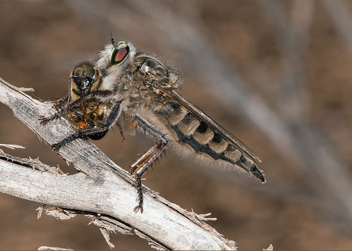 Europe Greeting Card featuring the photograph Robber Fly And Prey by Science Photo Library