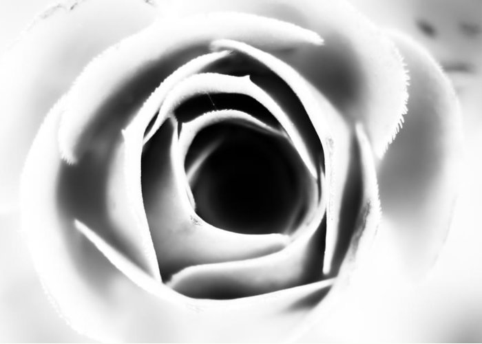 Nature Greeting Card featuring the photograph Rose by Carlo Scarpati