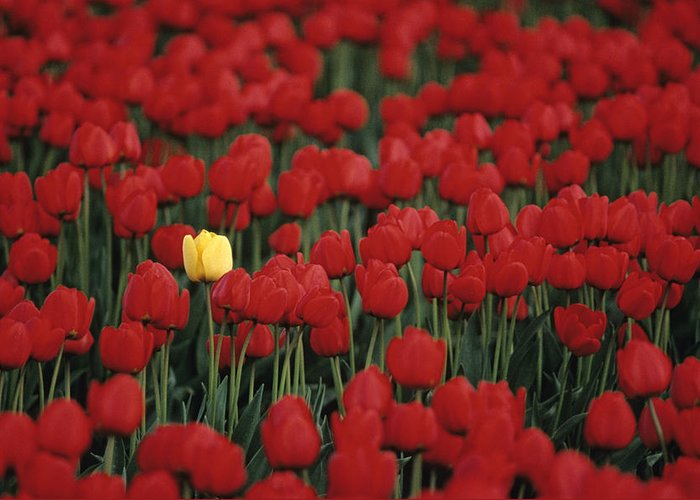 Travel Greeting Card featuring the photograph Rows Of Red Tulips With One Yellow Tulip by Jim Corwin