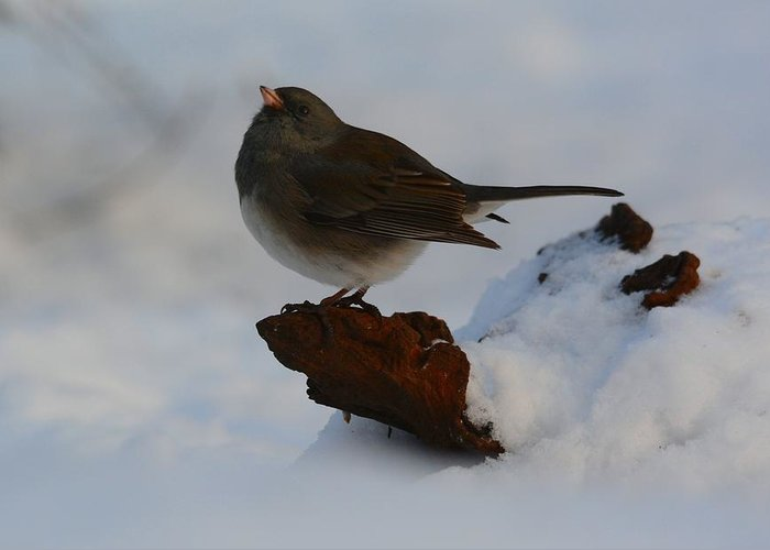 Bird Greeting Card featuring the photograph Snowbird by Charles Owens