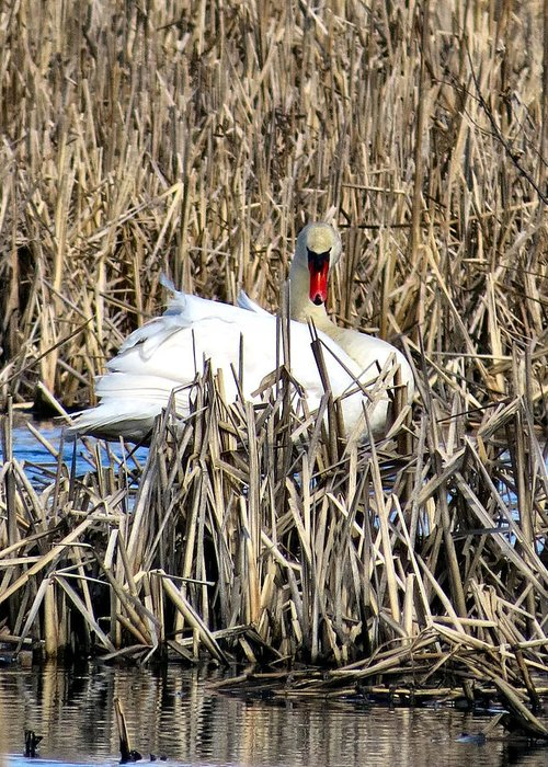 Swan Greeting Card featuring the photograph Swanly by Art Dingo