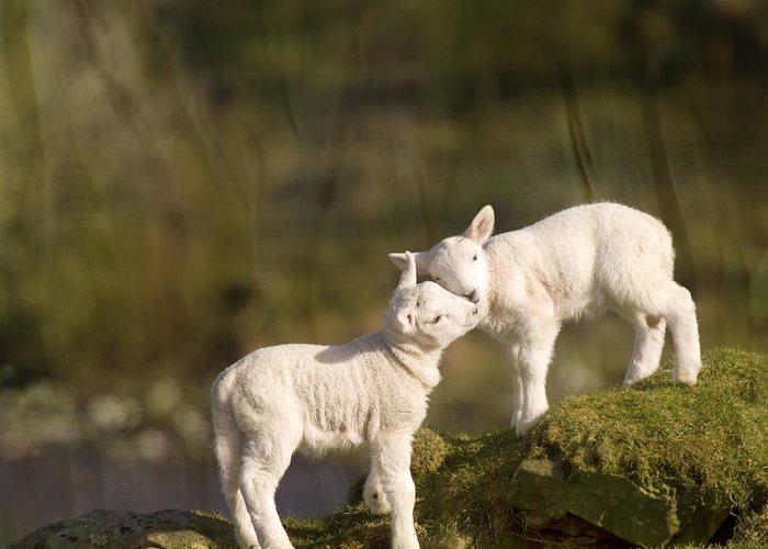 Sheep Greeting Card featuring the photograph Sweet Little Lambs by Angel Ciesniarska