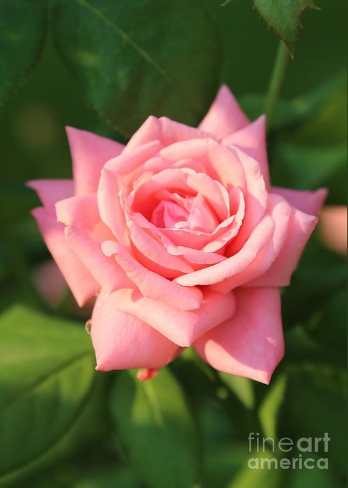 Rose Greeting Card featuring the photograph Sweet Pink Rose by Carol Groenen