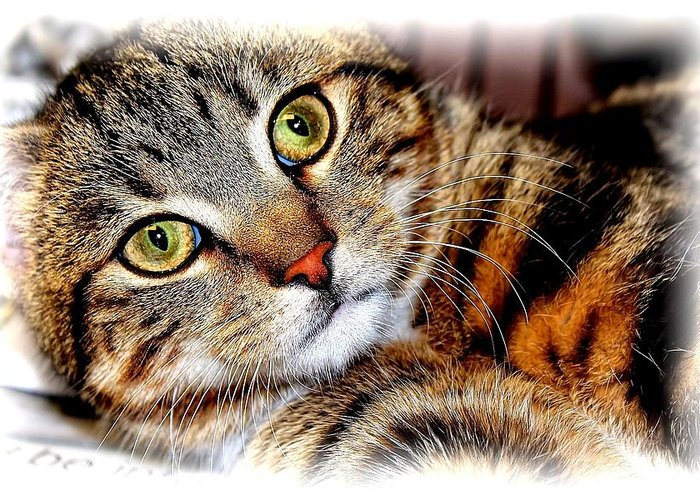 Brown Tabby Greeting Card featuring the photograph Sweetie by Joyce Baldassarre