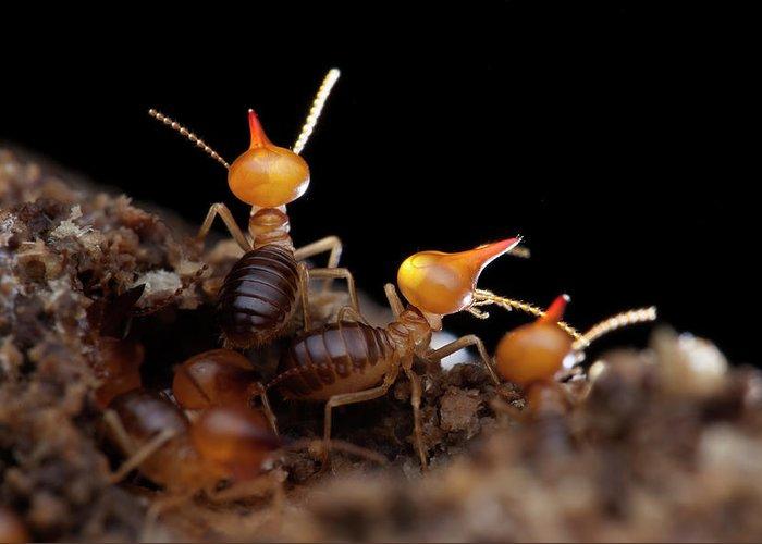 Termites Greeting Cards