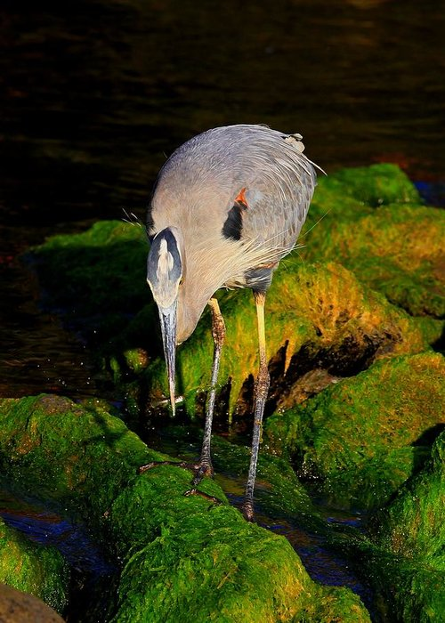 Great Blue Heron Greeting Card featuring the photograph The Fisherman by Donald Cramer