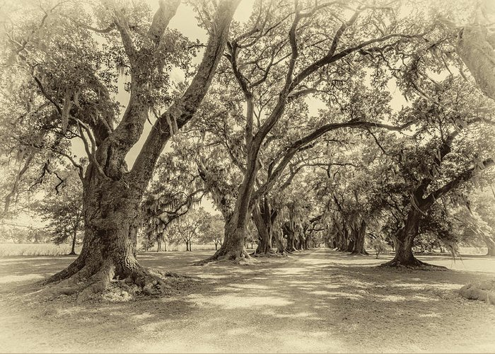 Evergreen Plantation Greeting Card featuring the photograph The Lane Sepia by Steve Harrington