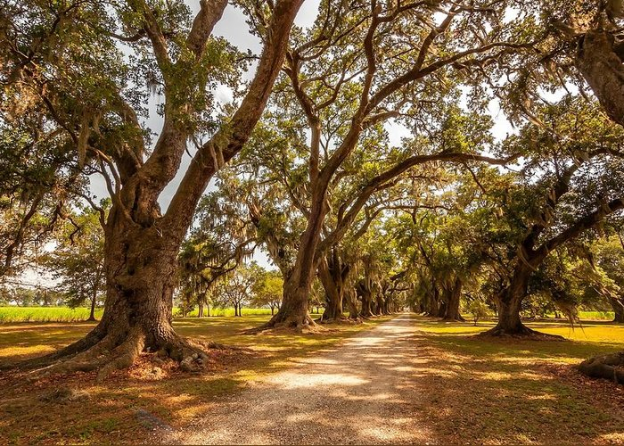 Evergreen Plantation Greeting Card featuring the photograph The Lane by Steve Harrington