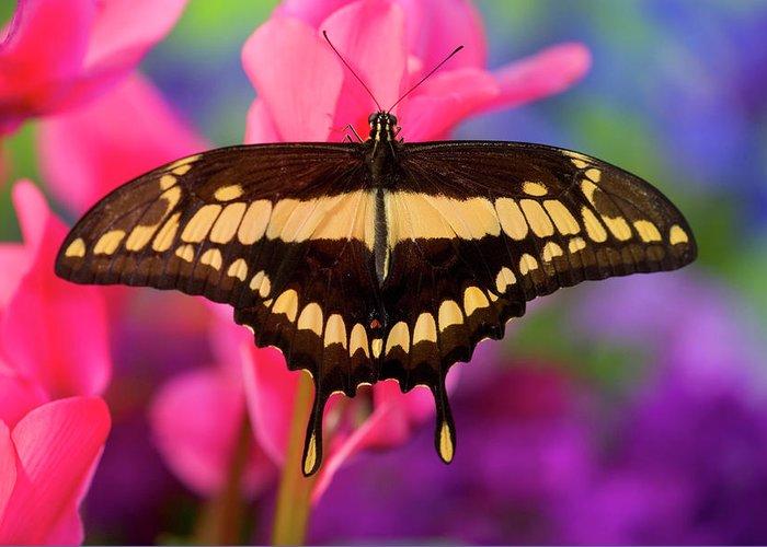 Papilio Thoas Greeting Cards