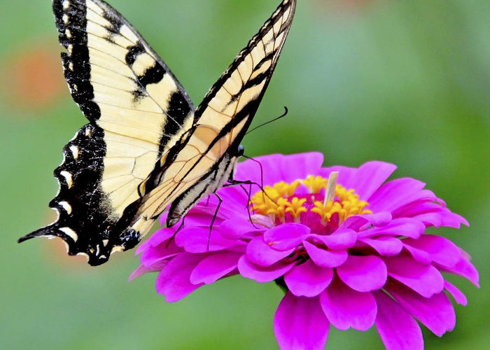 Flower Greeting Card featuring the photograph Tiger Swallowtail Butterfly On Zinnia by A Gurmankin