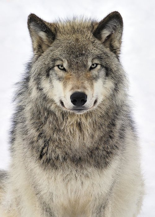 Timber Wolves Photographs Greeting Cards
