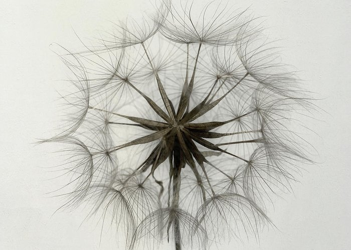 Dandelion Greeting Card featuring the photograph Tragopogon by Lotte Gr??nkj??r