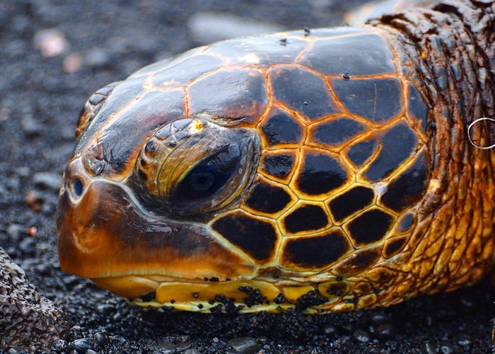 Hawaii Greeting Card featuring the photograph Turtle Eye by Patrick Roberto