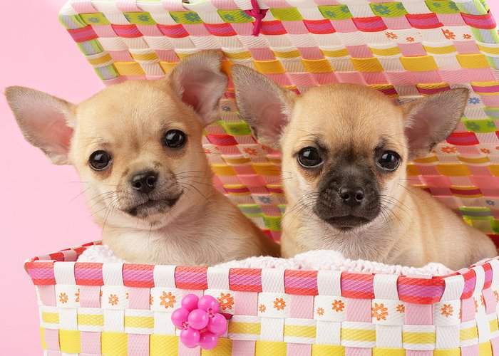 Puppy Horizontal Chihuahua Puppies Sitting Chihuahuas Two Togeth Greeting Card featuring the photograph Two Chihuahuas by Greg Cuddiford