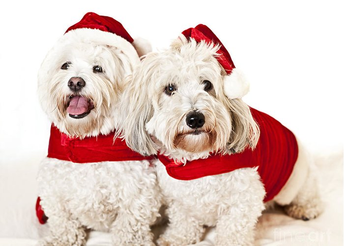 Dogs Greeting Card featuring the photograph Two Cute Dogs In Santa Outfits by Elena Elisseeva