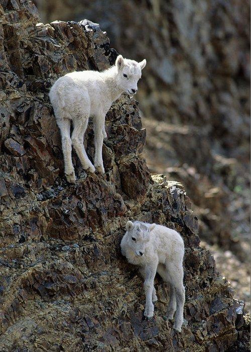 Alaska Greeting Card featuring the photograph Usa, Alaska, Dall Sheep, Dall Lamb by Gerry Reynolds