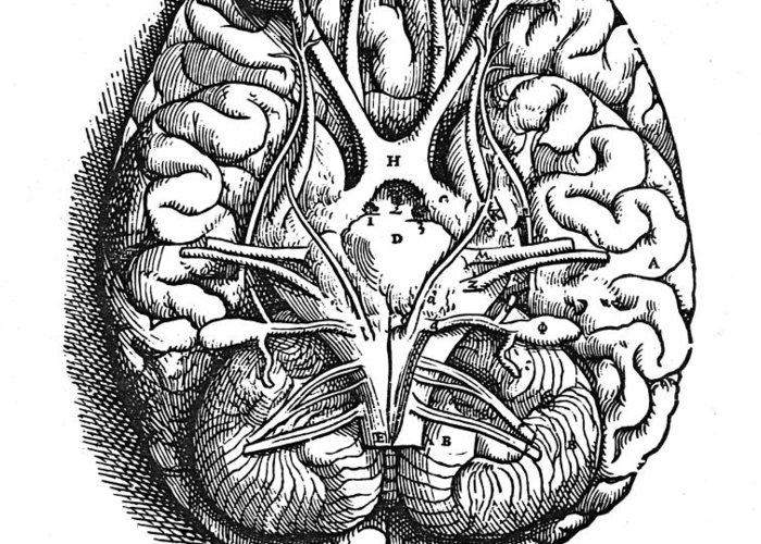 16th Century Greeting Card featuring the photograph Vesalius: Brain by Granger