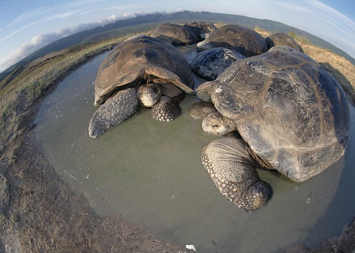 Feb0514 Greeting Card featuring the photograph Volcan Alcedo Giant Tortoises Wallowing by Tui De Roy
