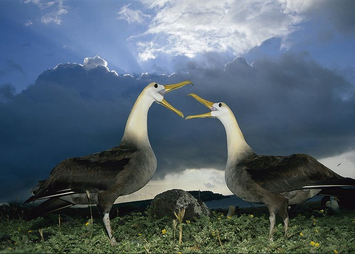 Feb0514 Greeting Card featuring the photograph Waved Albatross Courtship Dance by Tui De Roy