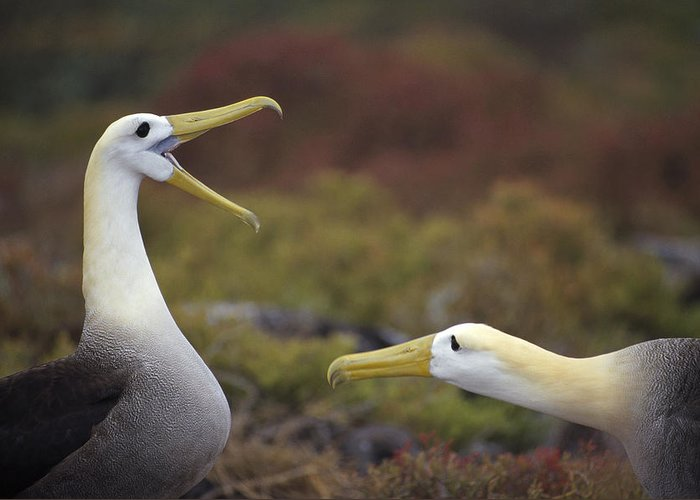 Feb0514 Greeting Card featuring the photograph Waved Albatross Courtship Display by Tui De Roy