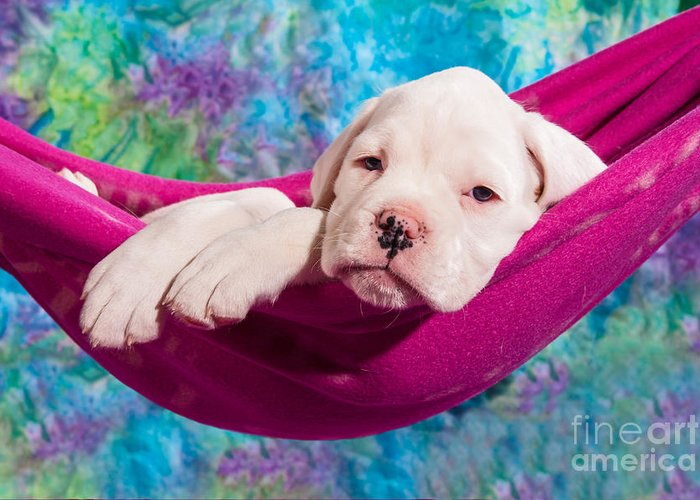 Dog Greeting Card featuring the photograph White Boxer Dog Puppy by Doreen Zorn