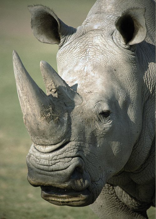 Feb0514 Greeting Card featuring the photograph White Rhinoceros Portrait by San Diego Zoo