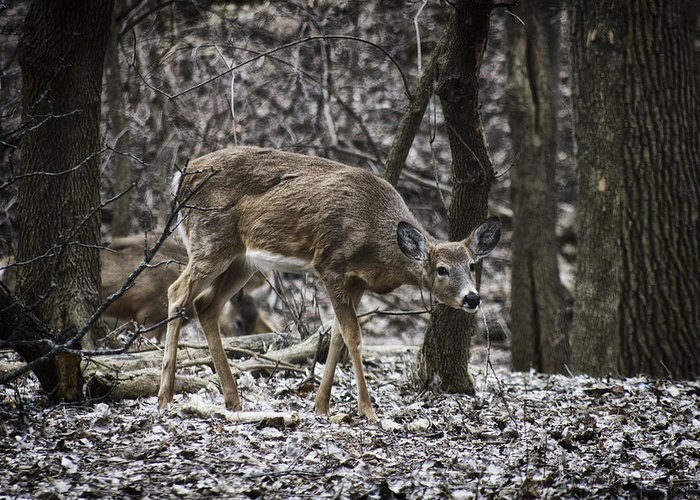 White Greeting Card featuring the photograph White-tail Deer by Jayme Spoolstra