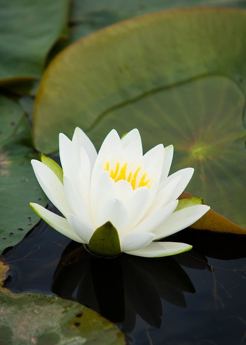Nymphaea Greeting Card featuring the photograph White Water Lily by Matt Dobson