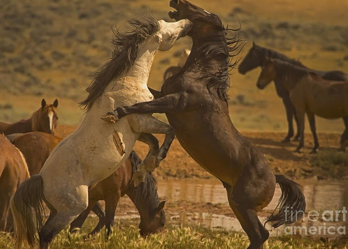 Equus Ferus Greeting Card featuring the photograph Wild Mustang Stallions by J L Woody Wooden