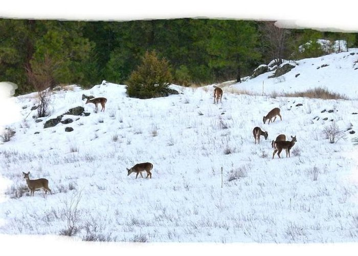 Winter Grazing Greeting Card featuring the photograph Winter Grazing by Will Borden