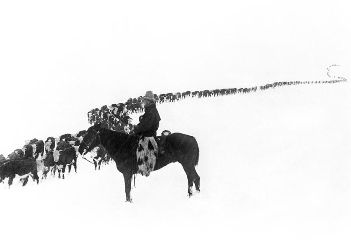 1920s Greeting Card featuring the photograph Wintertime Cattle Drive by Underwood Archives Charles Belden