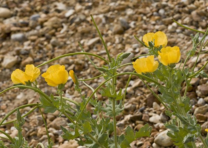 Yellow Horned Poppy Greeting Card featuring the photograph Yellow Horned Poppy (glaucium Flavum) by Science Photo Library