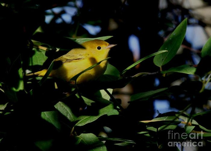 Nature Greeting Card featuring the photograph Yellow Warbler by Jack R Brock