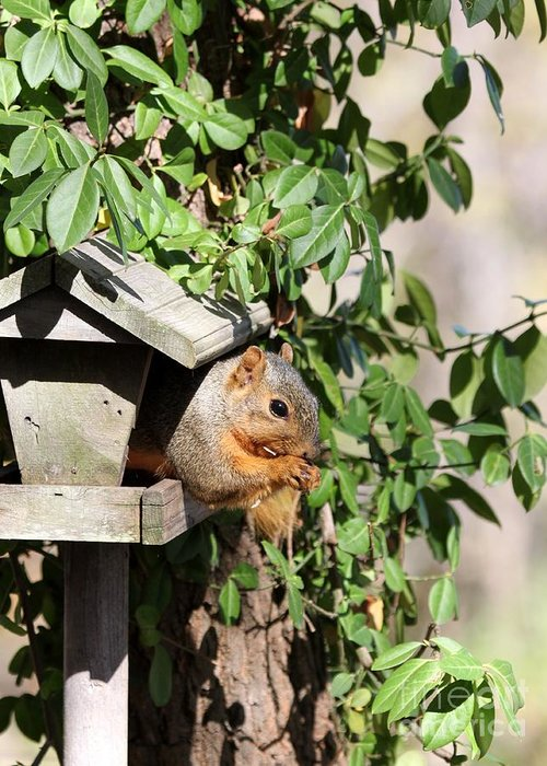 Nature Greeting Card featuring the photograph Eastern Fox Squirrel by Jack R Brock