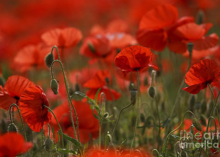 Red poppy flowers for sale images flower decoration ideas red poppy flowers for sale images flower decoration ideas red poppy flowers for sale image collections mightylinksfo
