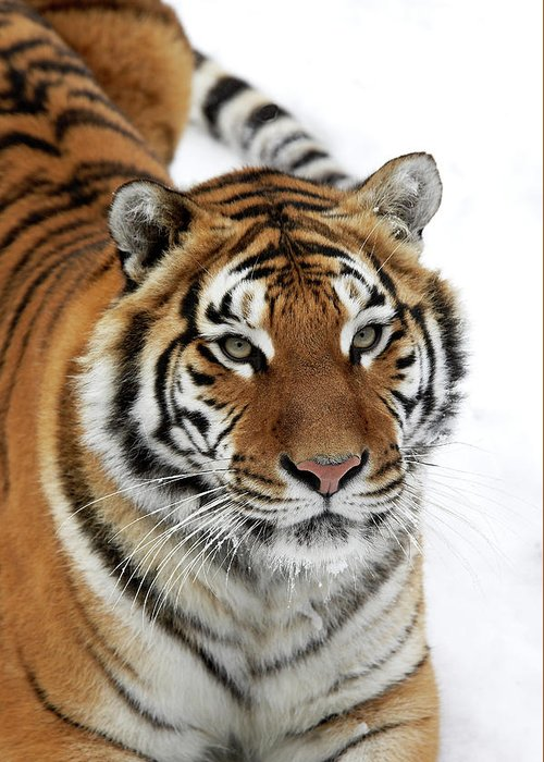 Adult Greeting Card featuring the photograph Tigre De Siberie Panthera Tigris Altaica by Gerard Lacz