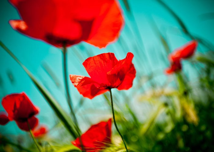 Field Greeting Card featuring the photograph Poppy Field And Sky by Raimond Klavins