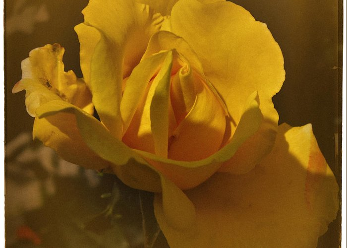 Rose Greeting Card featuring the photograph Vintage Yellow Rose by Richard Cummings